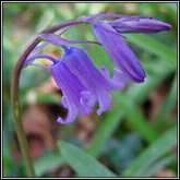 Bluebell - from irishwildflowers.ie